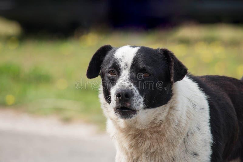 Smutny i brudny czarny i biały mutt pies patrzeje kamerę Zamazany t?o z kopii przestrzeni? zdjęcia stock