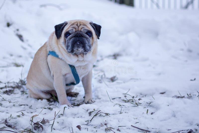 Smutny mopsa pies siedzi samotnie w śniegu fotografia stock
