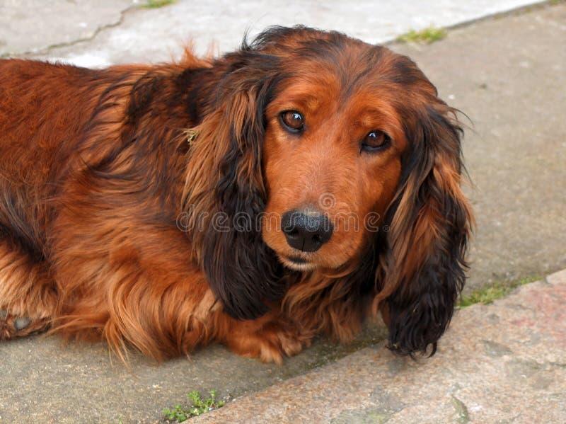 smutny pies obraz royalty free