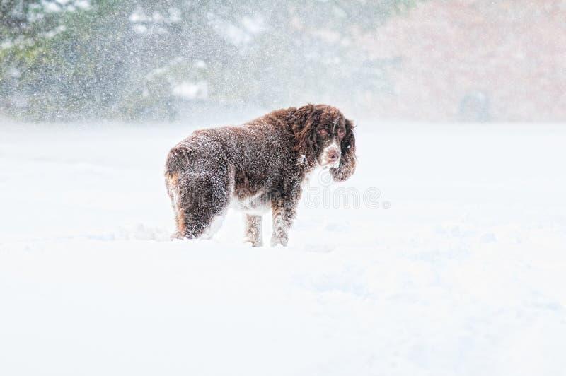 Smutny pies w śniegu zdjęcia stock