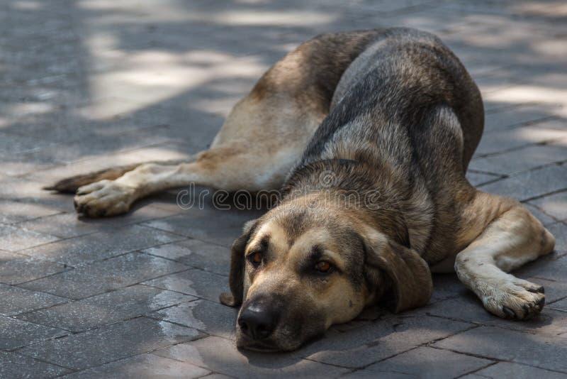 Smutny psi kłaść na ulicie Palermo, Sicily obraz stock