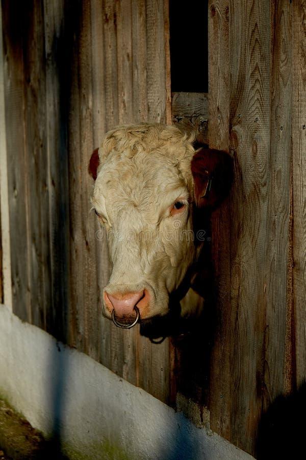 Smutny rolny krowy zakończenie w górę portreta zdjęcia stock