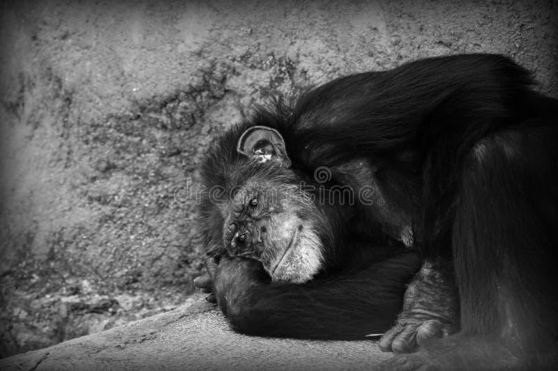 Smutny szympansa odpoczywać obrazy royalty free
