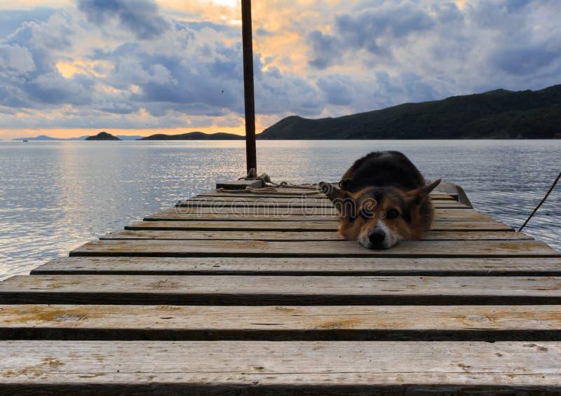 Smutny Welsh corgi pembroke pies kłama na drewnianym jetty wśród a zdjęcia stock