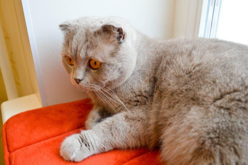 Download Smutny, Zadumany, Szary Brytyjski Kot, Zdjęcie Stock - Obraz złożonej z ssak, fałd: 106900620