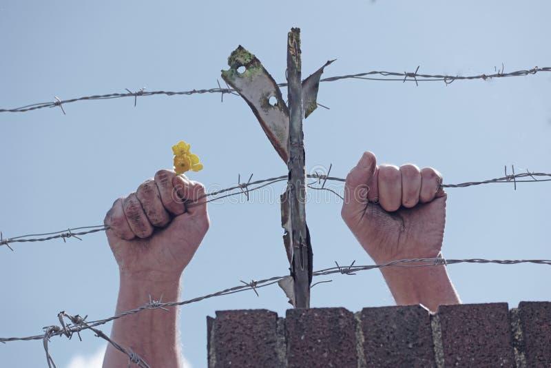 Smutsa ner händer som rymmer en blomma bak taggtrådar royaltyfri bild