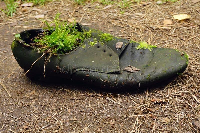 Smutsig gammal sko på jordningen Den gamla slitna kängan utan snör åt ut, täckt mossa royaltyfri foto