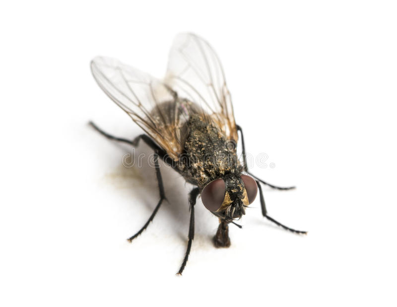 Smutsig gemensam fluga som äter, Muscadomestica som isoleras royaltyfria foton