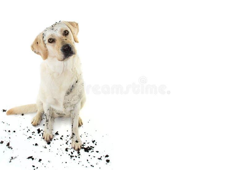 smutsig hund ROLIG LERIG LABRADOR SOM VIPPAR PÅ HUVUDSIDAN EFTER LEK I EN GYTTJAPÖL ISOLERAT STUDIOSKOTT MOT VIT arkivbild