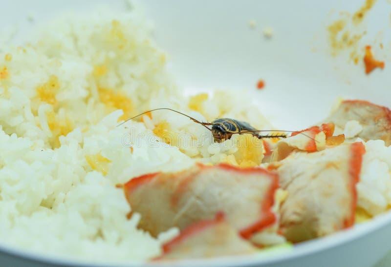 Smutsiga mat/kackerlackor som äter rismatuppehälle i köket på huset fotografering för bildbyråer