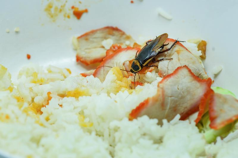 Smutsiga mat/kackerlackor som äter rismatuppehälle i köket på huset royaltyfri fotografi