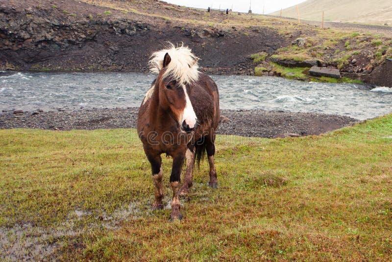 Smutsigt och vildhäst med en vit man som betar vid floden arkivbilder