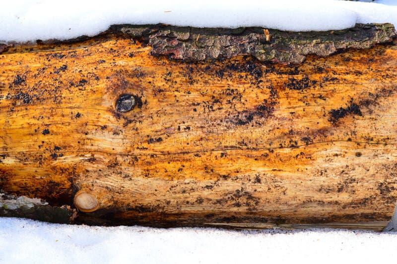 Smutsigt trä under snön royaltyfri foto