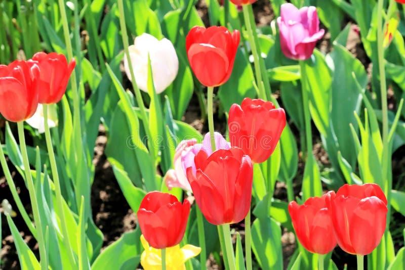 Smyckar ljusa färger för tulpan oss liv på våren och deras magiska skönhet royaltyfria bilder