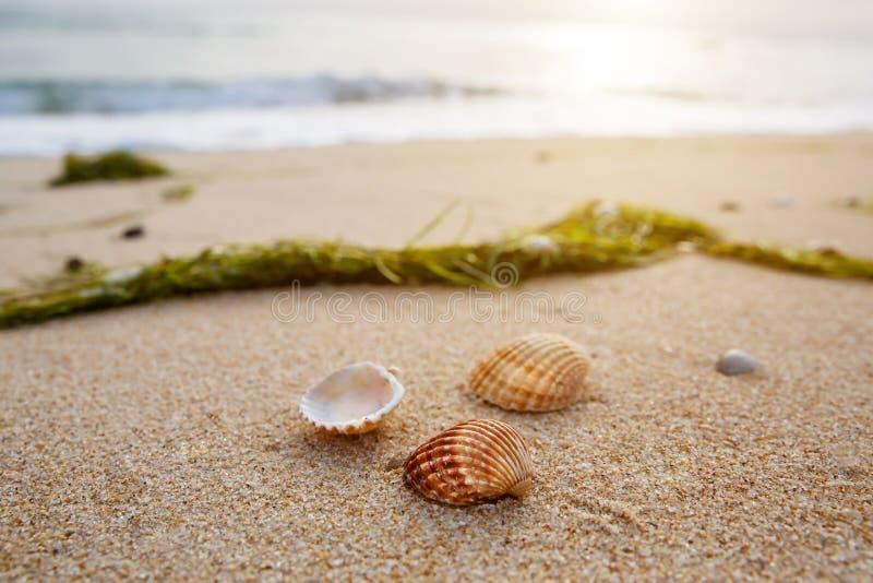 Snäckskal och havsväxt på kust- sander, seascape för sandig strand arkivbild