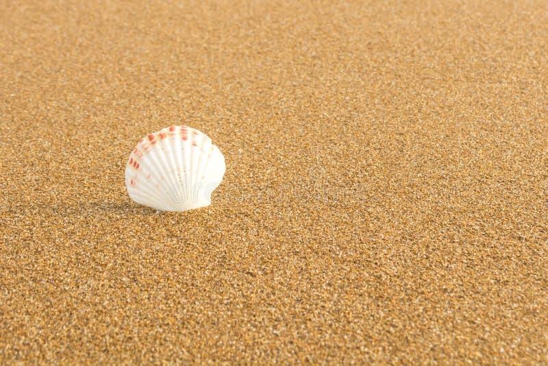 Snäckskal på stranden 19 royaltyfria foton
