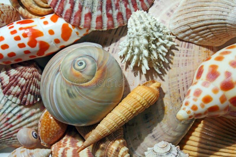 Snäckskal vid seashoren royaltyfri bild
