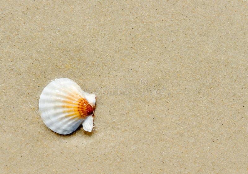 Snäckskalet av pecten ponticus på sand i solig dag arkivbild