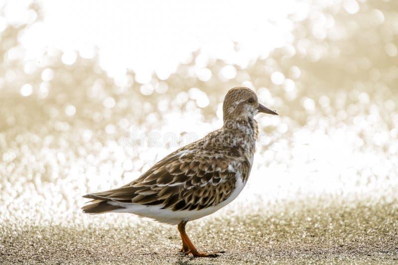 Snäppafågel på vattenlinjen under guld- timme för solnedgång royaltyfria foton