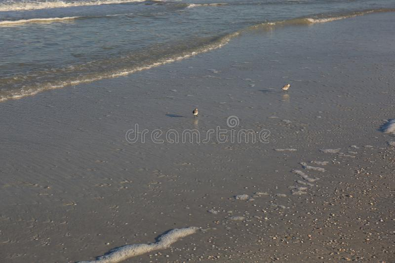 Snäppafåglar som kör med havet på kusten arkivfoto