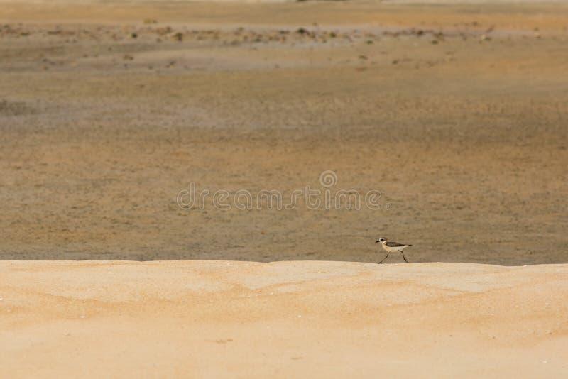 Snäppajakt för mat på en guld- sandstrand arkivbild