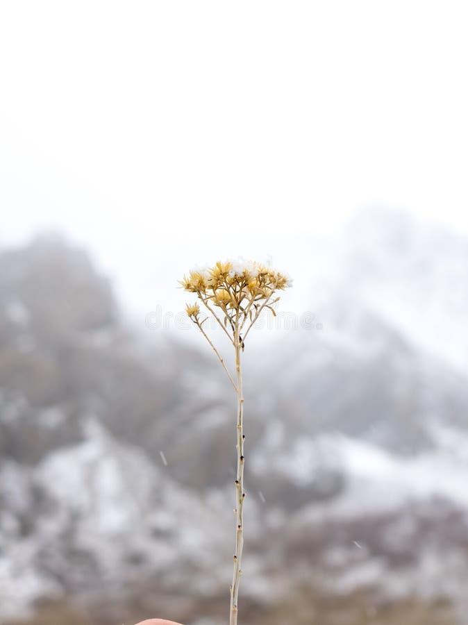 Snö dammar av en kvist av en gammal växt under en vintrig dag royaltyfri foto