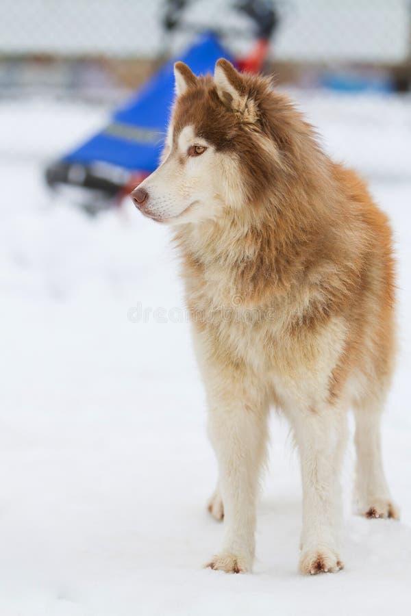 Snö för alaskabo Malamute royaltyfria bilder