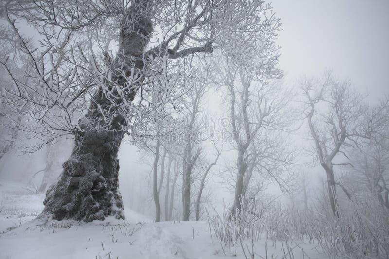 Snö för vintersnöskogen ligger på filialerna av träd Frostigt och dimmigt snöig väder härlig skogliggandevinter arkivbilder
