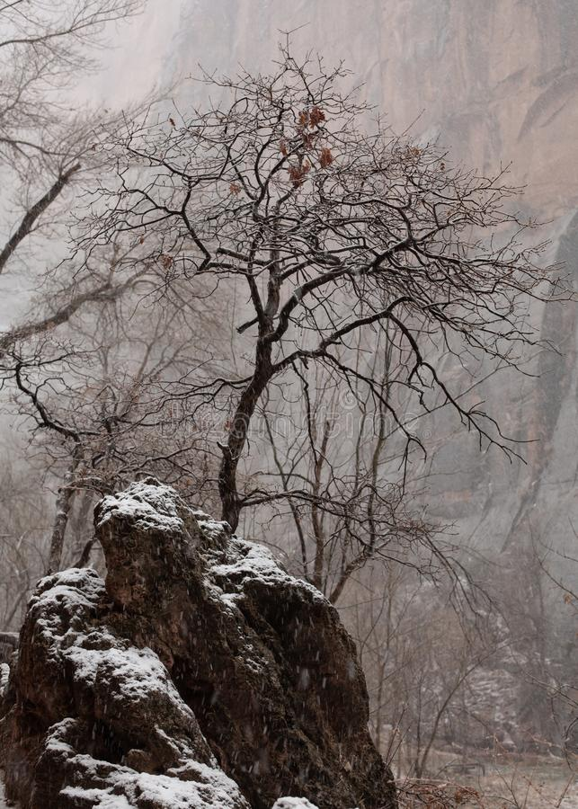 Snö faller runt om detta kala lönnträd för vintern och stenblocket som det växer på i den Zion nationalparken Utah royaltyfria bilder