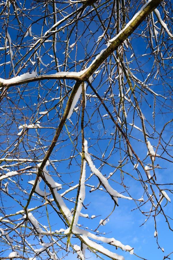 Snö laden trädfilialer royaltyfria bilder