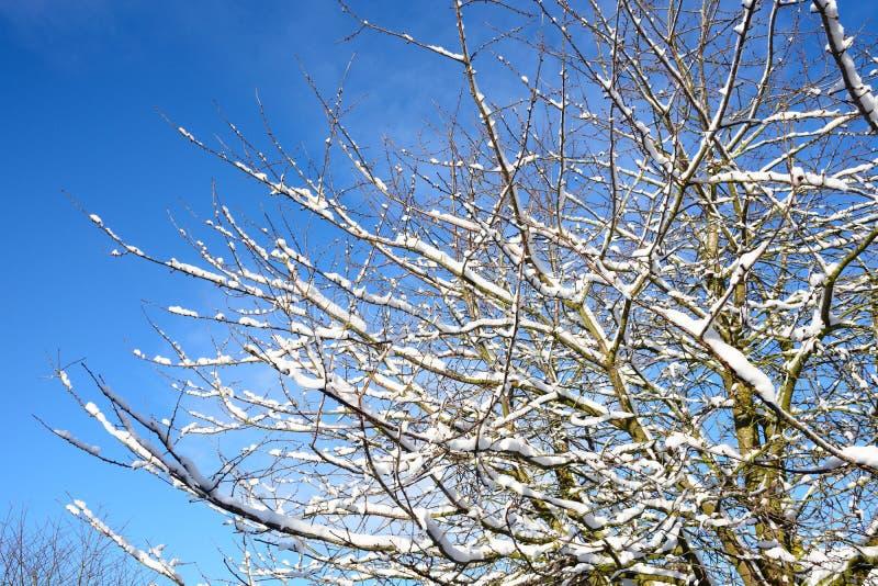 Snö laden trädfilialer arkivbild