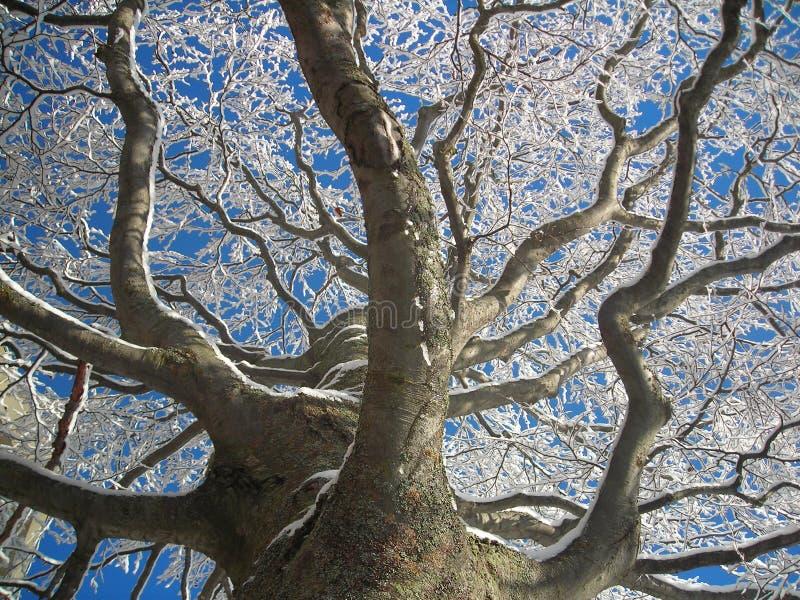 Snö och frost på stort vinterträd royaltyfri foto