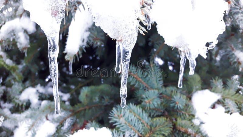 Snö och istappar på trädet royaltyfri bild