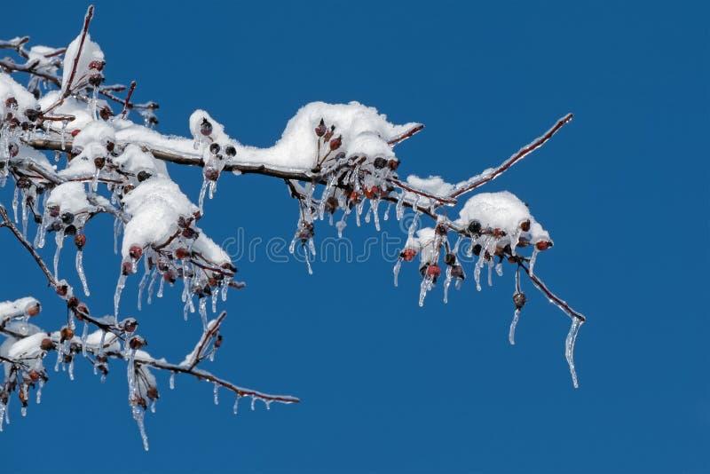 Snö och is på det krabbaApple trädet royaltyfri bild
