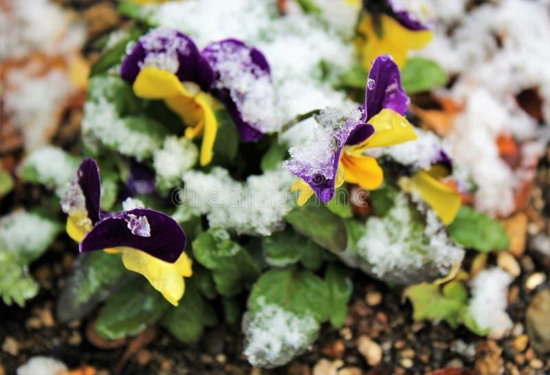 Snö på blommor arkivfoto
