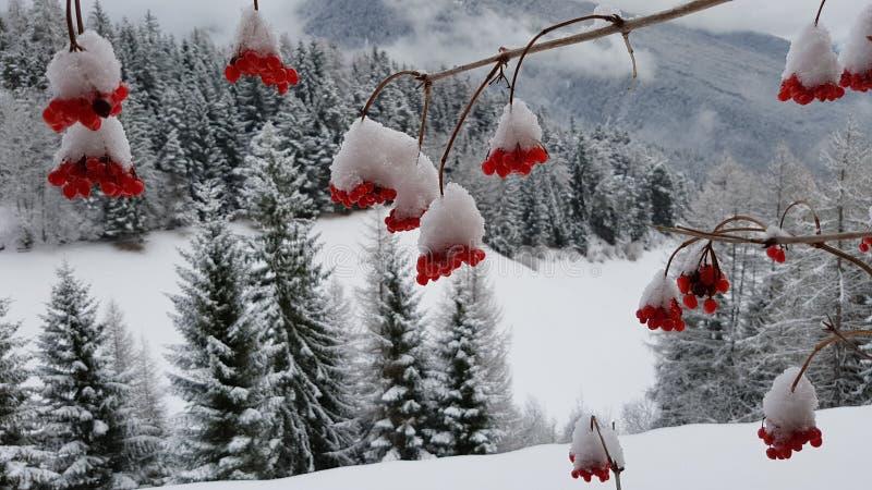 Snö på röda bär arkivbilder