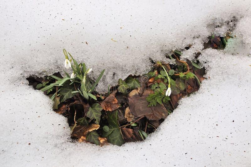 Snö + snödroppar arkivfoton
