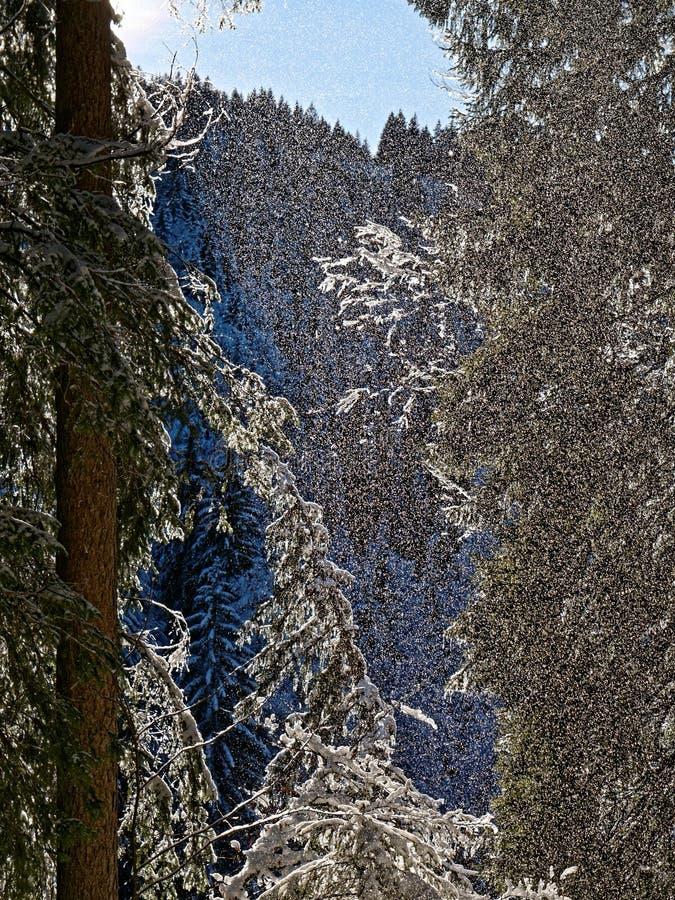 Snö som faller från fir-träd i alpina skogar av solsken arkivbild