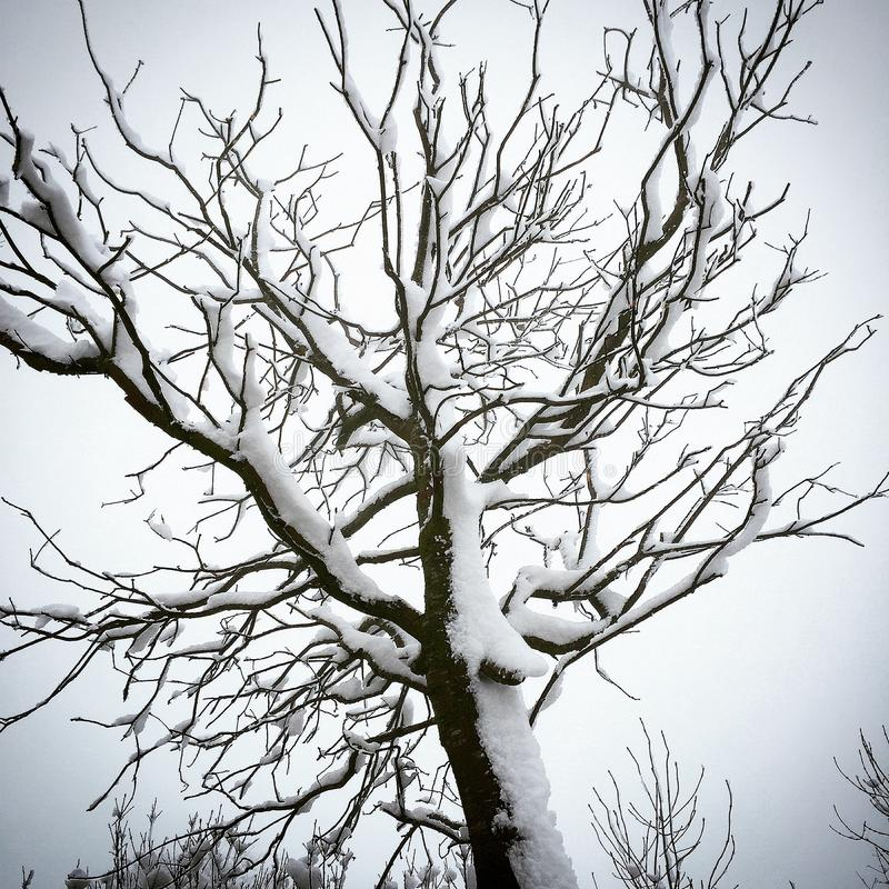 Snö som klibbas till ett träd fotografering för bildbyråer