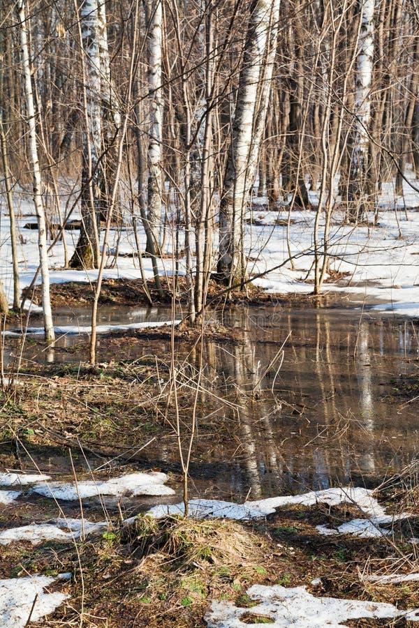 Snö som smälter i björkskog royaltyfri foto