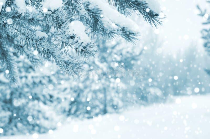 Snö-täckt sörja trädfilialer royaltyfri foto