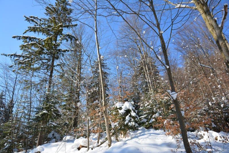 Snö-täckt skog på frostig solig dag för vinter, ljus blå himmel royaltyfri fotografi