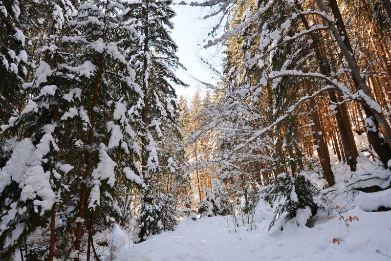 Snö-täckt skog på frostig solig dag för vinter, ljus blå himmel arkivbilder