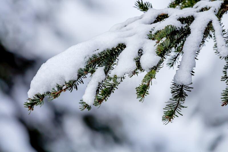 Snö täckt vintergrön trädfilial på det Snoqualme passerandet Washington royaltyfri foto