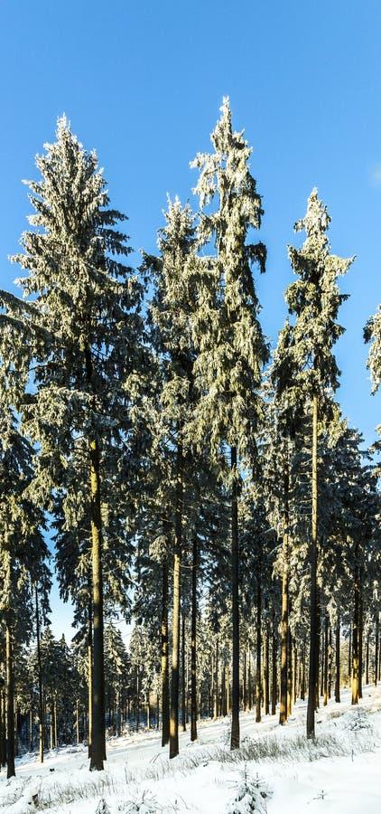 Snö-täckte barrträd royaltyfri foto