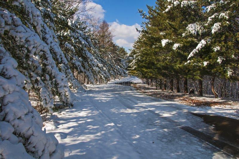 Snö-täckte cederträträd längs vägen på en solig vinterdag arkivfoto