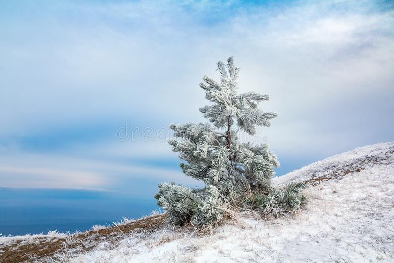Snö täckte det ensamma granträdet överst av ett berg mot en blå himmel, julbakgrund arkivfoton