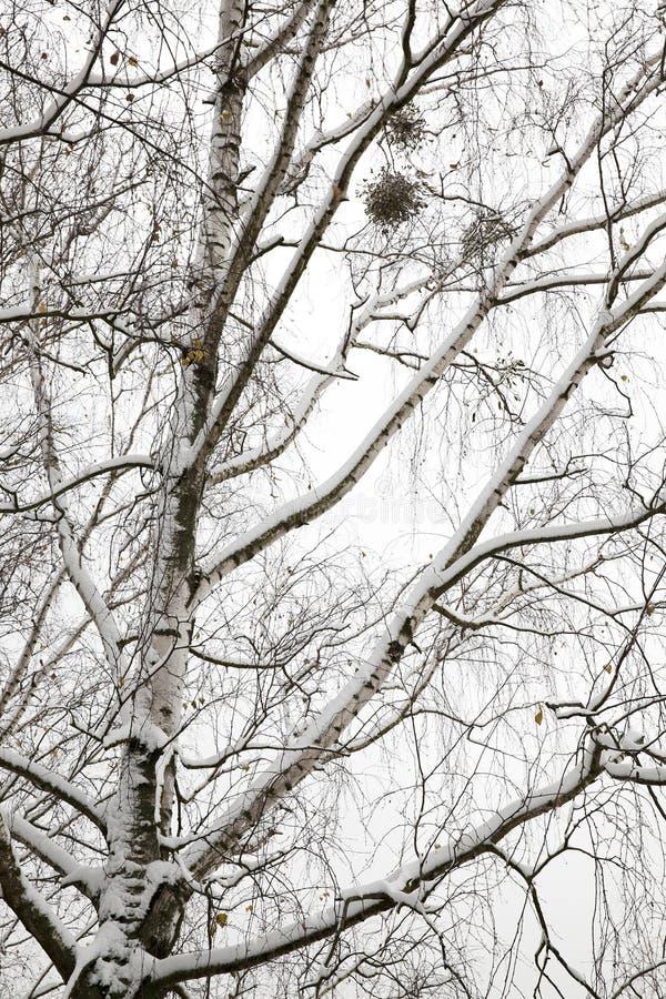 Snö-täckte filialer av det kala björkträdet arkivfoton