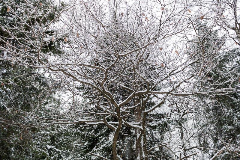 Snö-täckte filialer av en ek på bakgrunden av granträd arkivfoto