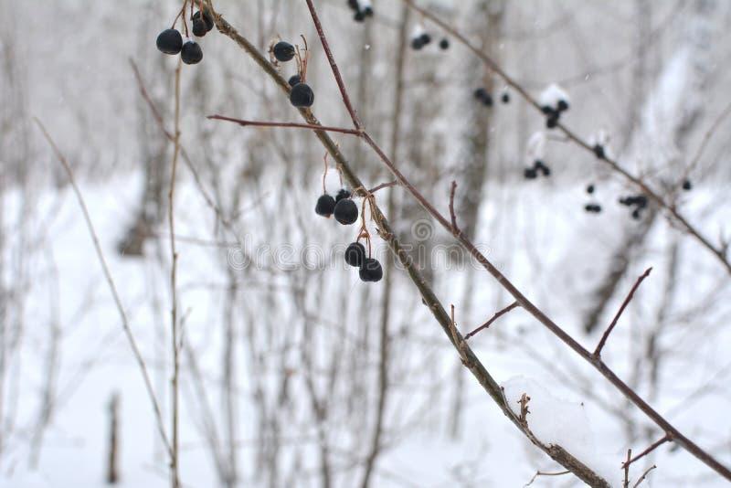 Snö-täckte filialer med bär Träd och buskar för vinterskogmakro arkivbilder